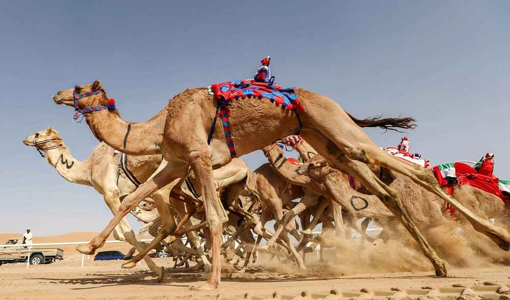 Of Camel Races Rifts and Culture